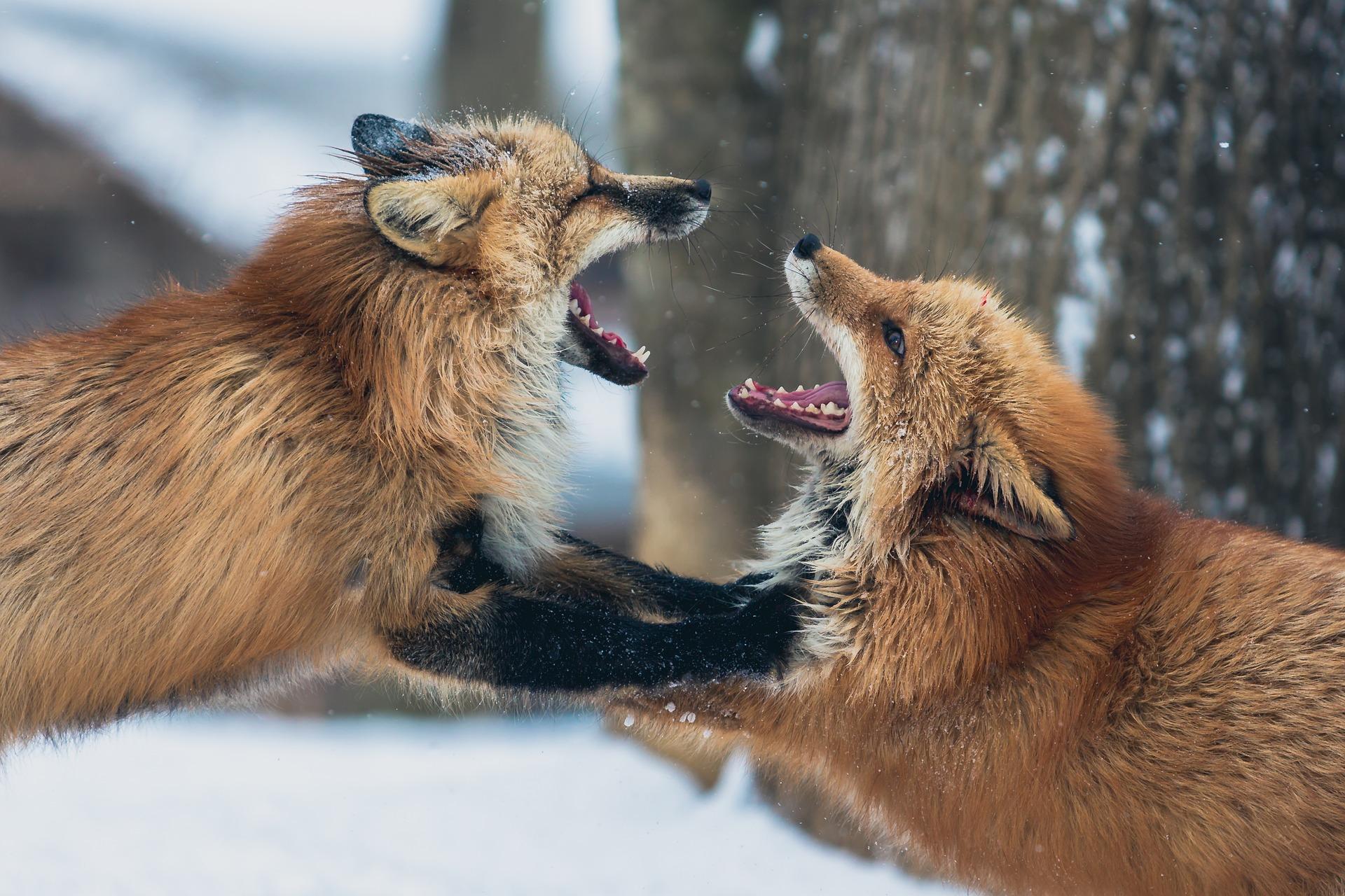 Schluss mit der Fuchsjagd
