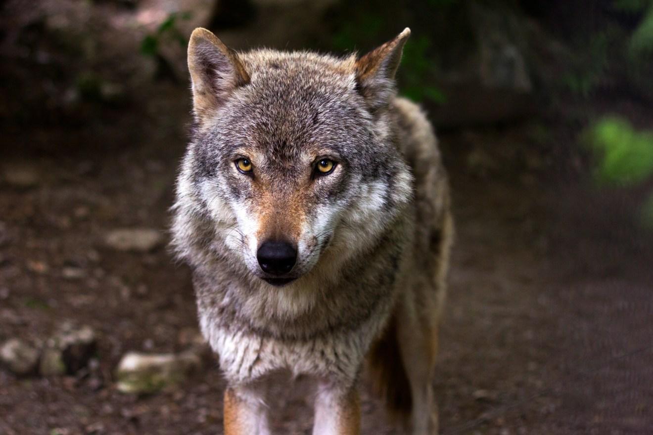 Besenderung eines Wolfes im Rheinwald