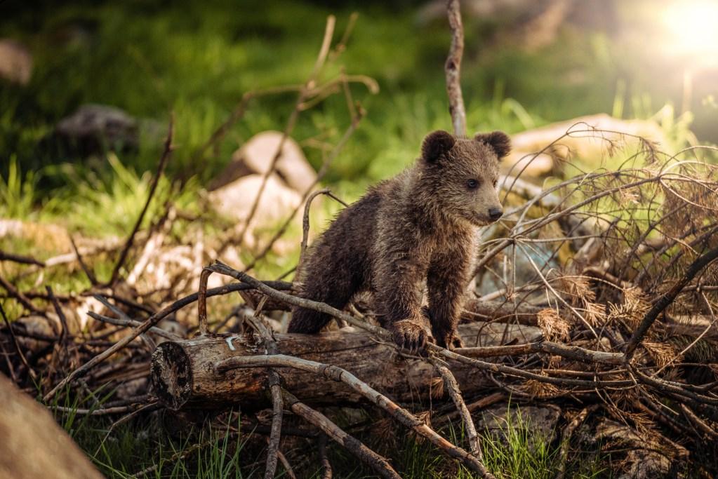 Bärenpopulation in Rumänien ausser Kontrolle